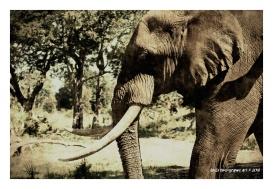 Elephant Head - Zambia - Vintage